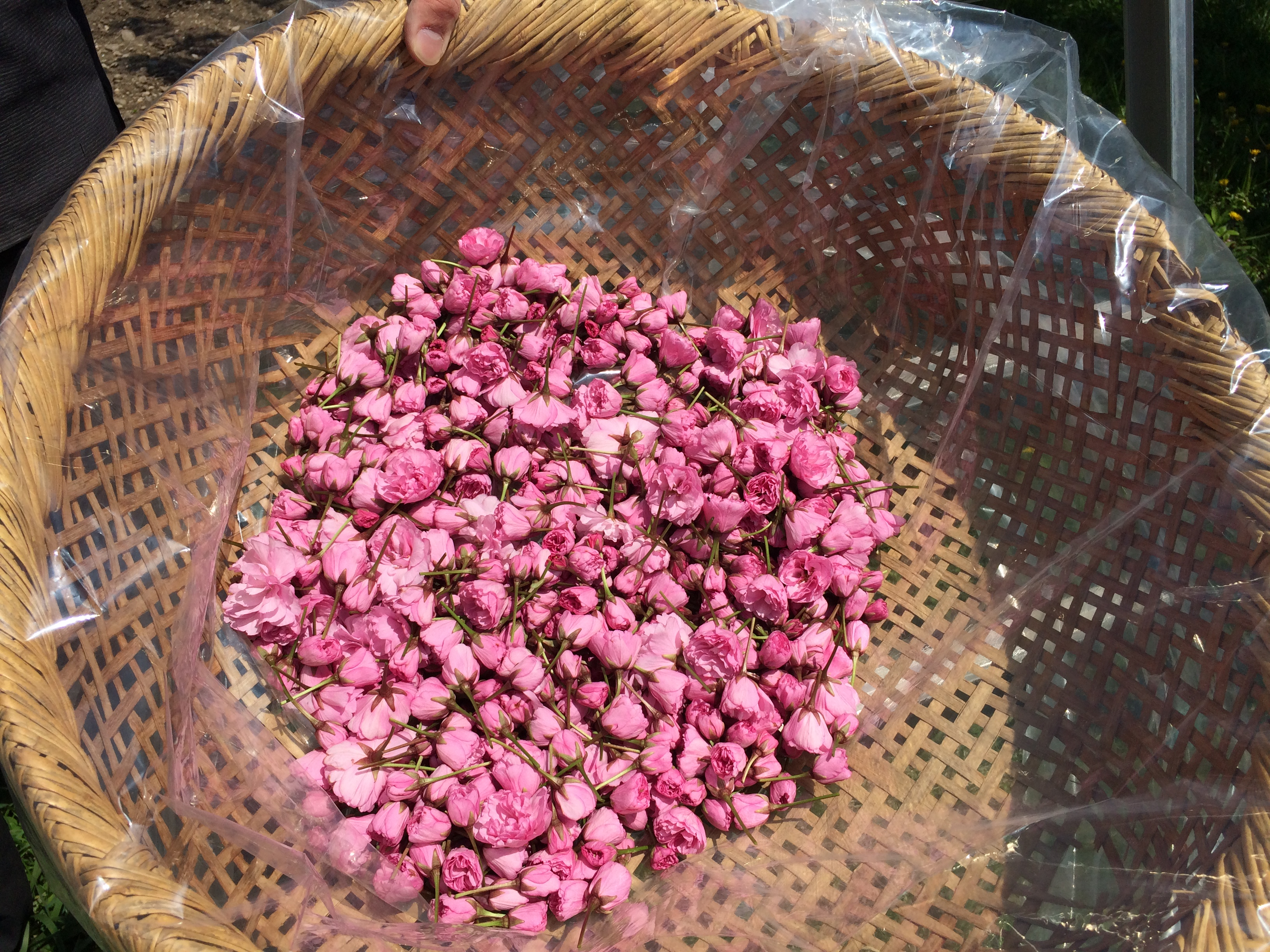 八重桜の花びらの塩漬け